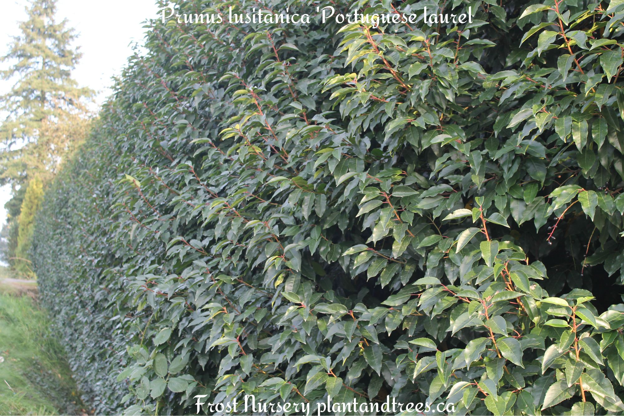 Evergreen hedging plants frost nursery for The evergreen